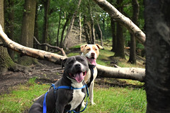 Django and Bonnie (E Music) Tags: dogs trees bonnie django forest forestry walk thurgoland england path