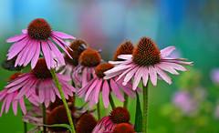 Summer flowers (L.Lahtinen) Tags: echinacea punahatut larissadatsha purpleconeflowers summer finland flora bokeh kukat suomi beauty catchycolors kes nikond3200 nature 55300mm luonto kasvit pretty nikkor
