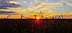 before harvest.... (BillsExplorations) Tags: sunset fall autumn winter seasons field summer clouds sky harvest fallcolor illinois sunrise silhouette country vividstriking