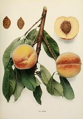 n440_w1150 (BioDivLibrary) Tags: andrewjackson 18151852 downingaj fruitculture newyorkstate portraits prunuspersica rosaceae newyorkbotanicalgardenluesthertmertzlibrary bhl:page=6593824 dc:identifier=httpbiodiversitylibraryorgpage6593824