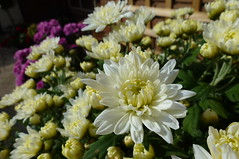 Chrysanthemum (dgardenia) Tags: dahlia dog pet macro home garden seeds mums mum frangipani geranium chrysanthemum seedling dahlias alyssum snapdragon diascia nemesia duranta geishagirl durantarepens