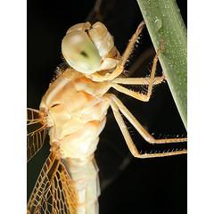 اليعسوب الذهبي Golden Dragonfly (HASAN_ADEL) Tags: macro nature canon insect photography dragon dragonfly micro mpe65 تصوير حشرة السعودية طبيعة ماكرو كانون حشرات مايكرو يعسوب 5dmkii