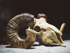 skull (miemo) Tags: animal finland dead skull evening spring helsinki europe dusk horns olympus windowdisplay voigtlnder kruununhaka omd voigtlndernokton425mmf095 em5mkii