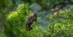 California Vulture (Sonarsgs) Tags: nature birds wildlife vulture buzzard scavenger