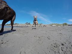 @coconut_cam GoPro dogs (@coconut_cam) Tags: berkeley bayarea pitbullmix gopro berkeleydogs bayareadogs coconutcam gopro4 goprodogs bayareadogvideos berkeleydogvideos