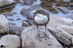 Dipper (Thomas Winstone) Tags: uk morning trees wild sky sun cold bird nature birds southwales canon wildlife air feathers aves breconbeacons bbc oiseau avian brynmawr sping dipper birdwatcher canon300mmf28 goldwildlife distinguishedpictures birdperfect canon7dmark2