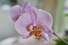 Orchid (hkkbs) Tags: orchid flower macro sweden blomma sverige nikkor westcoast orkide vstkusten 60mmf28gmicro nikond800
