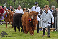Parade of champions (Vicktrr) Tags: show horses horse jumping native fife bull highland pony british hunter welsh harness cob calf gypsy coloured equestrian shetland champions equine agricultural calves clydesdale showjumping foal foals vanner 2015 drey workinghunter
