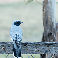 black-faced cuckoo-shrike (Fat Burns ☮) Tags: bird fauna australianfauna woodswallow maskedwoodswallow artamuspersonatus afsnikkor80400mmf4556gedvr nikond610 australianbied