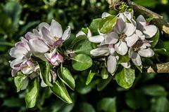 Garden Flowers #16 (foto_morgana) Tags: flowers plants nature fleurs garden spring belgium gardening jardin tuin lente garten printemps bloemen tuinieren wemmel jardiner