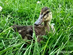 Break time (arellanojulie) Tags: pet pets nature animal animals closeup duck duckling mallard note3