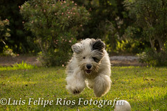 (Lipi2334) Tags: dog verde green speed movimiento perro canino lover ingles velocidad dientes sheeper ovejero