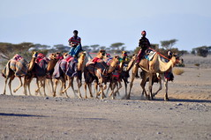 Camel training (charlottehbest) Tags: travel holiday travelling offroad exploring middleeast roadtrip racing adventure explore camel february oman camels hometime 2015 cameltrain getoutthere racingcamels offroadoman charlottehbest theadventuresofhenryjruffington