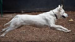 Running Dog - Nikon D750 - 75-300mm f/4.5-5.6 AF Nikkor (divewizard) Tags: blue dog chien white playing male co flying nikon play action running hond run perro hund chase d750 midair af 75300mm nikkor dslr fx dogpark  strech stopmotion  whitedog stride   f4556 streched 75300mmf4556af  chrisgrossman goberian  playavistadogpark 75300mmf4556afnikkor nikond750 whitegoberian