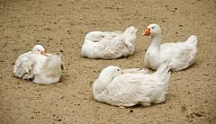 Geese (Mary Berkhout) Tags: white bird zoo geese ganzen wit vogel amersfoort dierenpark maryberkhout