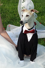 All Dressed Up (DiamondBonz) Tags: wedding dog hound handsome whippet ring tuxedo bearer spanky