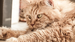 Maincoon108 (Michael Schorn) Tags: red rot animal cat katze kater maincoon