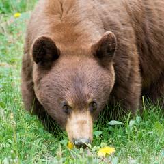 Cinnamon Black Bear (judymtomlinson) Tags: brown grass animal female mammal nikon wildlife mama dandelion albertacanada cinnamonblackbear