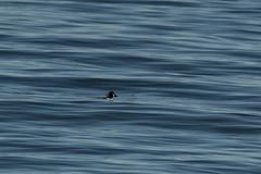 hiding in the waves (mysticislandphoto) Tags: wildlife vancouver island birds water ducks goldeneye barrows
