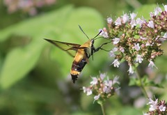 snowberry clearwing (Moon Rhythm) Tags: usa nature garden insect moth maryland easternshore flyers mybackyard mimicry oregano 2016 snowberryclearwing hemarisdiffinis clearwing withwings flyinglobster bumblebeemimic