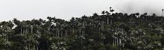selva nublada en pico codazzi 2 (fedelea1962) Tags: selva venezuela tropico tropic palms palmas arboles trees forest
