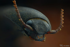 Click Beetle (Yousef Al-Habshi) Tags: yousef al habshi macro insect click beetle elateridae uae abu dhabi