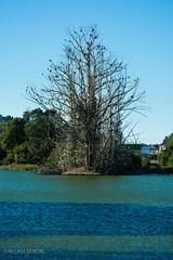 Bird's Home (AllanS.) Tags: tree lake bird home arbol lago casa ave naturaleza nature nikon d5200 55300 south sur chile