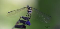 Dragonfly_0441 (Porch Dog) Tags: 2016 garywhittington kentucky nikond750 fx nikon105mm macro backyard home dragonfly bug critter