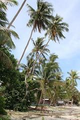 IMGL5440_1 (harleyxxl) Tags: strand thailand kohsamui palmen