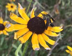 hump-backed fly (Stylurus) Tags: michigan lodi township prairie oaks lepidophora bee fly