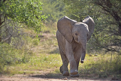 I'm in a hurry (Sumarie Slabber) Tags: elephantcalfrunning wildlife game wildelephant southafrica sumarieslabber pilanesbergnationalpark nikond750 nature northwest loveelephants baby elephant animal