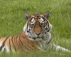 Amur Tiger (babell4321) Tags: amurtiger safari canon canoneos700d eos 700d