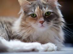 Stevie (Travis Estell) Tags: cat stevie calico calicocat graycat greycat domesticlonghair steviethecat damestevie