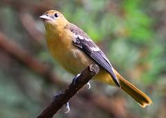 Baltimore oriole juvenile at Lake Meyer Park IA 854A2195 (lreis_naturalist) Tags: park county lake reis iowa baltimore larry juvenile meyer oriole winneshiek