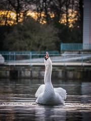 Kopf hoch (Sven Guder) Tags: animals tiere swan schwan wasservgel