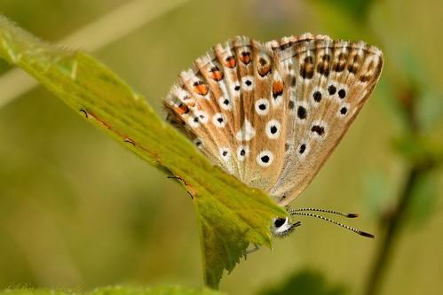 Bleu-nacré (Lysandra coridon) ♀