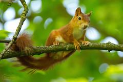 Hang Around (Undertable) Tags: oliverbauer undertable assamstadt natur naturfotografie tier tiere eichhrnchen baumbewohner nature tree green animal animals squirrel ngc abigfave npc ruby10