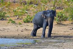 Thirsty... (Dunstan Fernando) Tags: srilanka dunstan dunstanphotography nikon nikkor nature wildlife srilankanelephant udawalawa udawalawanpsrilanka udawalawanp d7000 nationalpark water thirsty jungle forest wow park