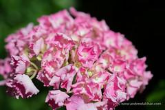 Bridal bouquet (alalchan) Tags: flower bridalbouquet fleur pink
