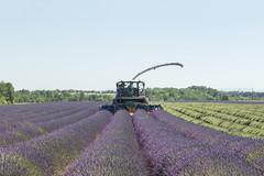 Raccolta (Mauro_Amoroso) Tags: sky panorama france green nature landscape nikon purple d2x lavander francia paesaggio nationalgeographic provenza lavanda natgeo d600 nital valensole nikonlandscape nikonitalia amorosomauroadventures mauroamorosoadventures