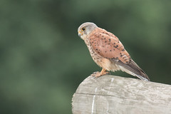 Watching (Andrew_Leggett) Tags: kestrel male falcotinnunculus birdofprey summer perched bird outdoor