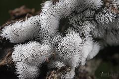 Ceratiomyxa fruticulosa (Vincent L) Tags: france poitoucharentes vienne amibozoaires fortdemoulire macro mycologie myxomycete photographie printemps protistes saison slimemould fr aquitainelimousinpoitoucharentes liniers