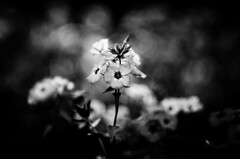 (Kals Pics) Tags: flowers bryantpark kodaikanal india tamilnadu blackandwhite lightandlife colorless monochrome macroworld hillstation westernghats princess mountains lightandshadow kalspics