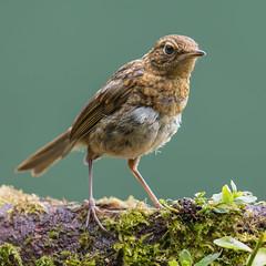 Juvenile Robin (Mr F1) Tags: robin juvenile smallbirds closeup johnfanning perch wild natural detail