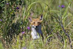 Chance Encounter  (Alpha 2008) Tags:             japan hokkaido ishikarigawa fox redfox wildlife animal nature green summer nikon