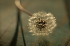 Full of Potential (Captured Heart) Tags: dandelionseeds dandelion wish wishes makeawish potential softness