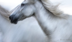 Horses (2) (Rob Blanken) Tags: horse camargue