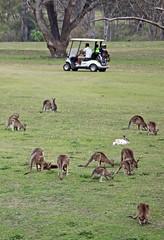 Golf 001 (DMT@YLOR) Tags: golf kangaroo club woogaroogolfclub course buggy grass golfbuggy golfers goodna ipswich queensland australia