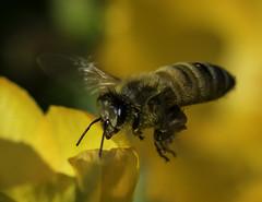 Bee_SAF3437-1 (sara97) Tags: bee copyright2016saraannefinke flyinginsect insect missouri nature outdoors photobysaraannefinke pollinator saintlouis towergrovepark urbanpark wildlife