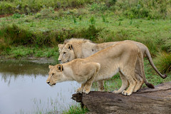 Lions, Not in a Zoo (Ron Scubadiver's Wild Life) Tags: lions south africa water animals nikon 24120 safari